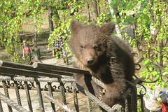 Bear-cub escape (i13rbk) Tags: fareast zoo khabarovsk zoogarden animals spring amur park forest shore