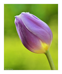 Sunny Tulip (Graham Pym On/Off) Tags: tulip petals floral nikon purple sunlit green ngc nature sunset