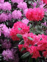 Colorfull (Shahrazad26) Tags: rhododendron landgoedclingendael clingendael denhaag sgravenhage thehague lahaye zuidholland nederland thenetherlands holland paysbas