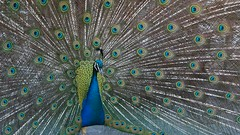 Peacock Courtship Display - short movie clip (fstop186) Tags: peacock display feathers courtship mating ritual movie videoclip peafowl