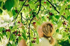 Summer joy (Inka56) Tags: picking sweetcherries tree cherry branch fruit bokeh 7dwf flora green leaves harvest throughherlens