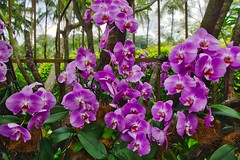 Orchids in the National Orchid Garden of Singapore (UweBKK (α 77 on )) Tags: national orchid garden flowers bloom purple plant flora singapore southeast asia sony alpha 77 slt dslr