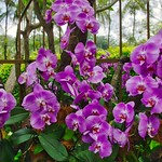 Orchids in the National Orchid Garden of Singapore thumbnail