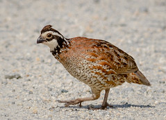 Northern Bobwhite (tresed47) Tags: 2018 201805may 20180524bombayhookbirds birds bobwhite bombayhook canon7d content delaware folder may peterscamera petersphotos places season spring takenby us