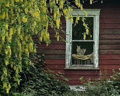 Cats in Farmhouse Window 8776 B (jim.choate59) Tags: on1pics jchoate abandoned decay cats windows wisteria wall old willamettevalley corvallisoregon springtime rural ruraldecay farm farmhouse oncewashome