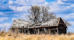 Abandon  2 (darletts56) Tags: sky blue clouds prairie home house tree trees brown gold grasss abandon saskatchewan canada pole wire line