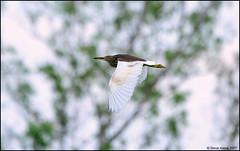 Pond-Heron Species (Ardeola sp.) (Steve Arena) Tags: pondheronspecies ardeolasp pondheron thailandbirding2017 thailand baanmakanaturelodge kaengkrachan baanmaka bird birds birding 2017 nikon d750