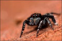Saitis virgatus (GTV6FLETCH) Tags: spider macro macrophotography saitis salticidae saitisvirgatus jumpingspider jumper nsw manualfocus mpe65mm canon canonmpe65 canoneos5dmark2 canonmpe65mmf2815xmacrophotolens mpe65 canon65mmmpe canonmpe65mm canonmpe65mm15xmacro 5dmk2 5dmkii