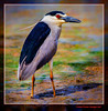 Martinet de nit 41 (Nycticorax nycticorax) Black-crowned night heron (Sueca, la Ribera Baixa, València, Spain) (Rafel Ferrandis) Tags: marjal martinetnit au eos7dmkii sigma150600contemporary