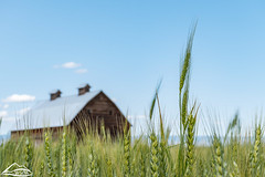 Green wheat field (Washington State Department of Agriculture) Tags: washingtonstatedepartmentofagriculture washington washingtonstate centralwashington wheat barn