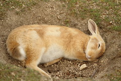 Good sleep (Teruhide Tomori) Tags: rabbit wild animal ohkunojimaisland hiroshima takehara japan japon ウサギ アナウサギ 大久野島 広島 竹原 瀬戸内海 setoinlandsea 動物 野生 nature 自然
