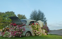 Call me Morris 2 (Srossi23) Tags: blue car morrisminor recycling feature flower colours summer garden wheel old rust