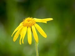 P6100111 (turbok) Tags: alpenpflanzen arnika pflanze wildpflanzen c kurt krimberger