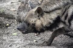 taste test (ucumari photography) Tags: ucumariphotography stripedhyena hyaenahyaena animal mammal naples florida fl zoo may 2018
