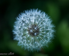 The Curse (maureen.elliott) Tags: 7dwf crazytuesdaythemeweeds dandelion seeds macor closeup nature growing