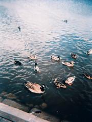 JW_Holga120S_CrossBird_000015 (joannewhiteart) Tags: holga120s crossbird crossbird200 crossprocess colourslidefilm 120s rollei ilovefilm ilovemyhloga ishootfilm analogue burnabylake burnaby ducks