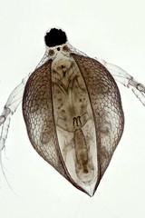 Ceriodaphnia (mr.sansibar) Tags: freshwater aquatic arthropoda crustacea planapo focusstacking olympusbh2 photomicrography microscopy heliconfocus waterflea cladocera ceriodaphnia