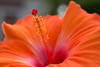 For my mum! (Deborah S-C -In The Fairy Garden! On/Off) Tags: flower flora floral hibiscus vibrant orange yellow stigma style anthers filaments pollen texture pink