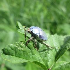 Hoplie bleu (Hoplia coerulea) (michelaroche66) Tags: hopliacoerulea insectes