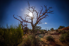 The Desert Star (KC Mike Day) Tags: burst sun desert canyonlands park national utah tree withered