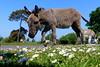 New Forest Donkeys (Hythe Eye) Tags: donkeys newforest hampshire canadacommon may25201880explored explored