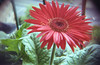Flower (Giampaolo Squarcina) Tags: giampaolosquarcina analogico analog analogue film pellicola 35mm 135 fiore flower lomography lomografia konstruktor