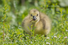 Too young to smoke! D85_3137.jpg (Mobile Lynn) Tags: gosling birds nature geese anseriformes bird fauna goose wildlife estuaries freshwater lagoons lakes marshes ponds waterfowl webbedfeet hurst england unitedkingdom gb coth specanimal coth5 ngc specanimalphotooftheday npc