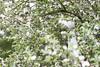 Appleblossomboy (Hasel-Anne) Tags: fine art photography flowers summer spring bloom beautifull portraits portrait porcelain ceramics mixed media children baby babies pregnant boy appleblossom blossom