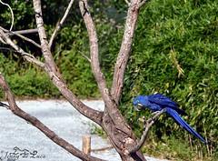 Ara hyacinthe - Anodorhynchus hyacinthinus (jenny' pix) Tags: zoo animaux animals oiseaux birds parrot perroquet psittacidés ara hyacinthe anodorhynchus hyacinthinus hyacinth macaw