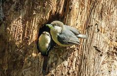 Pygmy Nuthatches (Bob Gunderson) Tags: birds california goldengatepark northerncalifornia nuthatches pygmynuthatch sanfrancisco sittapygmaea stowlake