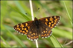 Duke of Burgundy basking II (glostopcat) Tags: dukeofburgundybutterfly butterfly insect invertebrate macro glos spring may butterflyconservation prestburyhillnaturereserve