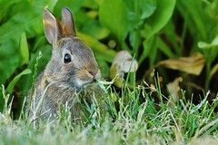 040 (2) New Visitor (srypstra) Tags: rabbit baby eating grass yard