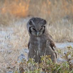 Verreaux's eagle-owl (Nanooki ʕ•́ᴥ•̀ʔっ) Tags: africa etoshanationalpark namibia ©suelambertlrpscpagb oshikotoregion na birds verreauxseagleowl bird owl