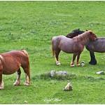 Cavalls al mig del camp thumbnail