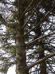 Lombard, IL, Lilacia Park, Pine Tree Pair (Mary Warren 10.9+ Million Views) Tags: lombardil lilaciapark nature flora plants garden park trees pine evergreen branches