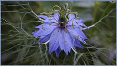 En tutu bleu !!! (passionpapillon) Tags: fleur flower macro bleu blu nigellededamas plante jardin tutu passionpapillon 2018