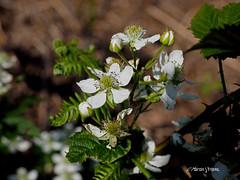 Bramble   P6063611sm (Preselector) Tags: suttonpark bramble blackberry flower