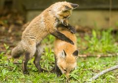 IMGL1391 Pugwash Red Fox Kit(s) (Wallace River) Tags: foxes novascotia pugwashfoxes redfoxes