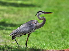 06-07-18-0021586 (Lake Worth) Tags: animal animals bird birds birdwatcher everglades southflorida feathers florida nature outdoor outdoors waterbirds wetlands wildlife wings