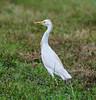 06-08-18-0021778 (Lake Worth) Tags: animal animals bird birds birdwatcher everglades southflorida feathers florida nature outdoor outdoors waterbirds wetlands wildlife wings