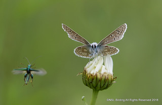 Common Blue with incoming