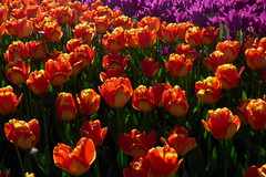 Skagit Valley Tulip Festival 2018 (Aneonrib) Tags: skagit valley tulip festival 2018 tulips flowers mount vernon wa sun april roozengaarde annual spring northwest county washington state landscape field flowrbed plant outdoor panasonic lumix red backlight backlit orange