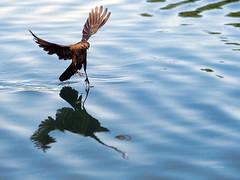 Walking On Water (vgphotoz) Tags: vgphotoz bird wings usa walkonwater blue arizona grackle northamerica photography female