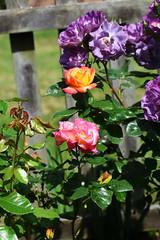 DSC_0173 (PeaTJay) Tags: nikond750 sigma reading lowerearley berkshire macro micro closeups gardens outdoors nature flora fauna plants flowers rose roses rosebuds