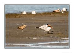 What am I missing, I'm sure I'm missing something?! (JohnKuriyan) Tags: alameda elsie roemer bird sanctuary caspian tern whimbrel