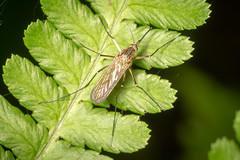 Mosquito (Steve Ln) Tags: brandonmarsh culexpipiens female mosquito