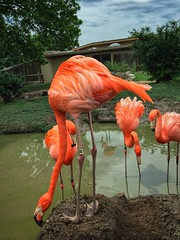 Flaming Flamingo Four (Pejasar) Tags: pink zoosofnorthamerica oklahoma zoo tulsa birds brilliant bright four flamingo
