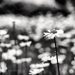 Prominent one (w.mekwi photography [here & there]) Tags: bokeh squareformat flowers dof nature bokehwednesday daisy hbw depthoffield nikond800 wmekwiphotography