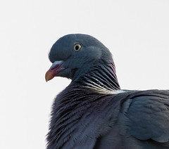 Wood Pigeon closeup