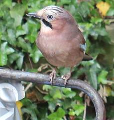 Jay(Garrulus glandarius) (jdathebowler Thanks for 2.6 Million + views.) Tags: jay orderpasseriformes garrulusglandarius familycorvidae speciesgglandarius aves bird nature